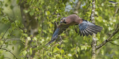 Eurasian Jay (Mick Erwin) Tags: nikon afs 600mm f4e fl ed vr lens d810 mick erwin stoke trent staffordshire wildlife nature jays eurasianjay jaybird eurasian jay garrulus glandarius