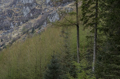 Trees and Rock - Loch Eck Loop April 2017 (GOR44Photographic@Gmail.com) Tags: gor44 green trees rocks loch eck loop path larch pentax k50 50200mmf456wr argyll scotland cowal