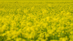 Yellow Immersion (andbog) Tags: sony alpha ilce a6000 sonya6000 emount mirrorless csc sonya oss sel nature natura landscape paesaggio panorama sonyα sonyalpha sony⍺6000 sonyilce6000 sonyalpha6000 ⍺6000 ilce6000 spring primavera yellow flower field campagna campo country countryside colza rapeseed brassicanapus nabo apsc 55210mm sel55210 widescreen 169 16x9