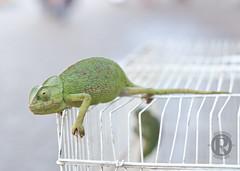 Ove_Marokko6 (overonning) Tags: green lizard nature macro marocco