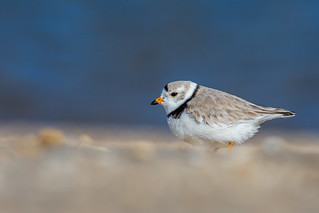 Heavenly Plover