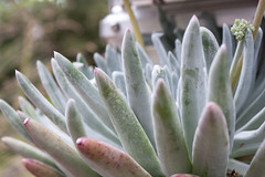 Dudleya 'Anacapa' (MGormanPhotography) Tags: dudleya anacapa liveforever succulent california native white green blue silver foliage pink bloom flower