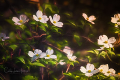 """""""into the wild I go:  losing my way, finding my soul"""" (crziebird) Tags: dogwood tree flower bloom woods southernmaryland petals dogwoodtree dogwoods flowers floweringtrees trees maryland"""