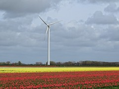 Red, Yellow and White (Johan Moerbeek) Tags: tulpen tullips rood geel wit windmolen windmill noordholland polder