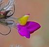 CAD0008896a (jerryoldenettel) Tags: 170411 2017 blackcanyon dalea daleaformosa fabaceae fabales featherplume indigobush n rosids socorroco bush featherdalea featherydalea flower shurb willdflower