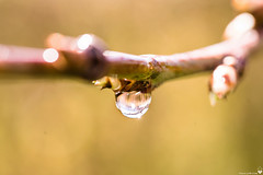 Waterdrop (Torjan Haaland) Tags: laowa 60mm f28 21 sony a7s macro photography bokeh dreamy silky smooth tree branch water drop rain norge norway imagesofnorway fotonorge