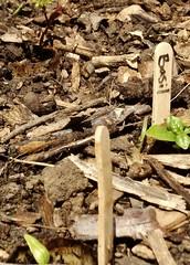 school garden (carmacke~) Tags: schoolgarden seed seedling basil