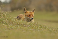 Red Fox (Vulpes vulpes) Netherlands (wildlife_photo) Tags: red fox vulpe netherlands garry smith nature wildlife eild holland amsterdam beach dunes canon 7d