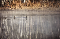 Assiduity - a requirement for new bird photogs. (jm atkinson) Tags: pondscape fauna 7dwf d700 sigma150600mm spring birchtrees reflections maine pond cormorant