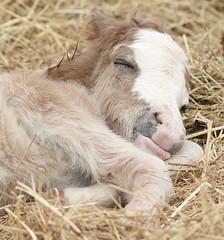 re-charge! (hazelcaldwell) Tags: horse mini filly newborn sleepingangel