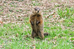 Groundhog upright 3 (sw_bobster) Tags: groundhog woodchuck mammal wild