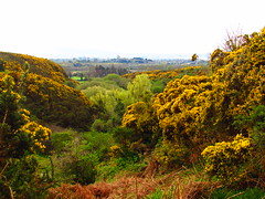 Our Jungle (sam2cents) Tags: commongorse ulexeuropaeus valley glen wicklow ireland vanilla scent ravine flowers blossoms blooms whin furze colibar