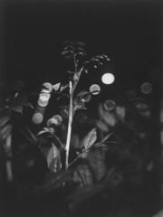 plant and night lights (mohamedyamin_masop) Tags: mint tl70 instantflex instax fujifilm closeup film plant bokeh shallowdof blackandwhite monochrome