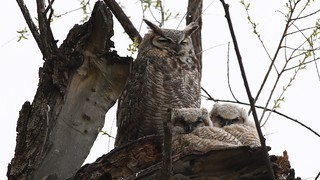 Great Horned Owls in the Spring Snow
