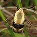 Snowberry Clearwing - Hemaris diffinis, Occoquan Regional Park, Lorton, Virginia