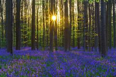 Psychedelic (dlorenz69) Tags: bluebell hyacinth hasenglöckchen april halle hallerbos blauer wald frühling sonne buchenwald buchen beech tree forest blossoms blooming flowers blumen blüten violett blue violet purple belgium
