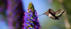 Nice Curvature! (Patricia Ware) Tags: california canon ngc handheld huntingtonbeach annashummingbird calypteanna specanimal sunrays5 2014patriciawareallrightsreserved