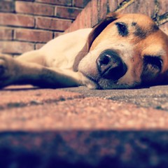 Lazy day (Emily Gorvett) Tags: sleeping dog sun cute love beagle beautiful weather puppy relax pretty sleep adorable sunny lazy lovely bless aw lay chilled