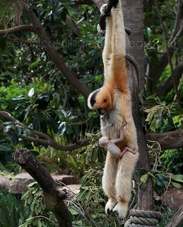 White-cheeked Gibbon and baby