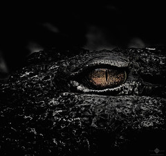 Smaug (chmeermann | www.chm-photography.com) Tags: bw eye nature monochrome animal easter zoo tiere blackwhite google aperture nikon flickr natur crocodile sw ostern nikkor schwarzweiss lowkey auge krokodil 70300 colorkeying querformat landscapeformat d7100 silverefexpro2 colorefexpro4