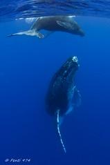 Baleines  bosse - Humpback whales - Megaptera novaeangliae - Reunion Island (Penti's Pics) Tags: ocean sea reunion mammal nager nikon underwater wideangle scuba fisheye tokina le snorkelling whale humpback marinemammal runion 1017 megapteranovaeangliae baleine d90 reunionisland cetacea humbackwhale novaeangliae megaptera ctac megapteranovaengliae baleinebosse tokina1017 ledelareunion