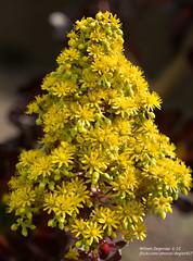 yellow (Degies927) Tags: aucklandbotanicalgardens