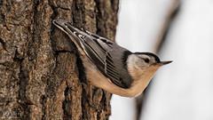 Sitelle (D-TaiL) Tags: bird nature animal nikon sitelle d7000 dtailvision