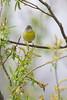 _53F0317 Nashville Warbler (~ Michaela Sagatova ~) Tags: ontario yellow spring dundas nashvillewarbler woodwarbler birdphotography vermivoraruficapilla dvca michaelafotheringham michaelasagatova