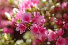 Azelea (ANC'N'VA) Tags: flower corner virginia pentax competition azelea 55mm smc f20