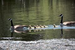 Canada Geese pair with goslings (StoneSpeak) Tags: bird geese watching waterbird goslings canadagoose ebrpd birdphotography contraloma sigma150500 nikond7100