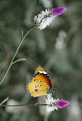 Ant and Butterfly ([s e l v i n]) Tags: flowers india flower color green nature colors butterfly colours dof ant greenery gujarat selectivecoloring saputara selvin