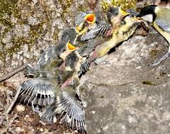 affams ! (natur6belle) Tags: famille nid bebe campagne fort oiseaux plumes mesange faim oisillon nourrissage affams