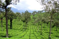 Kerala_Tea Gardens (njanam92) Tags: city travel mountains boats photography kerala amateur backwaters kanyakumari westernghats munnar chinesefishingnets teagardens
