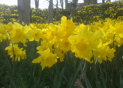 Daffodils on the braes below the library, Wick Caithness. (Shandchem) Tags: daffodils