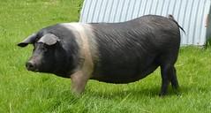 "Vietnamese Pig ""Friendly"" (KevReillyUK) Tags: pig dorset friendly animalpark ornamentalgarden kingstonmaurward vietnamesepig kingstonmaurwardgardensandanimalpark"