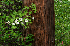 Dogwoods of the Sierra (Darvin Atkeson) Tags: california mountains flower tree creek forest landscape nationalpark spring nevada canyon sierra valley yosemite redwoods dogwood springtime darvin darv liquidmoonlightcom lynneal