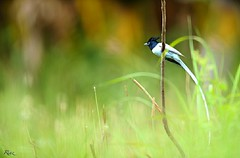 Asian paradise fly catcher Male (Riaz . khan) Tags: pakistan portrait nature birds fauna canon google paradise wildlife birding bbc birdwatching islamabad riaz asianparadiseflycatcher 1dx kalarkahar canon600mm birdsart islbirder amazingbirdsimages