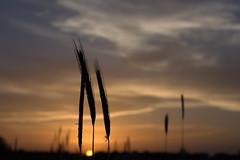 at the end of a summer day-5 (H e r m e s) Tags: sunset lake nature wheat sunwater