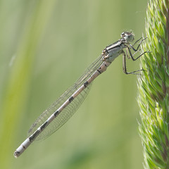 Common Blue. (natural diversity) Tags: macro nature insect nikon wildlife derbyshire damselfly d4