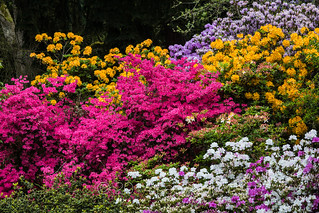 Azaleas blooming in Spring in Seattle's Washington Park Arboretum