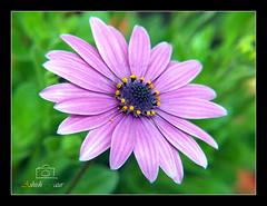 Purple Flower- At Basant Utsav Flower Show in Uttarakhand Raj Bhawan, Dehradun (Ashish Gaur - www.ashishgaur.com) Tags: india flower nature purple utsav purpleflower flowershow ashish dehradun basant 2014 gaur phool uttarakhand pushp ashishgaur rajbhawan kan