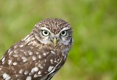 Little Owl. (nondesigner59) Tags: nature bokeh captive birdofprey littleowl athenenoctua eos50d nondesigner nd59 copyrightmmee