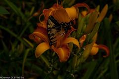 jdy203 bpl Hemerocallis Frans Hals epl Bgr4Egr Blo RbgbYard Elo ban butterfly ean XX20110722a8360.jpg (rachelgreenbelt) Tags: usa 1955 maryland daylily northamerica greenbelt americas hemerocallis midatlantic floweringplants monocotyledons monocots irides xanthorrhoeaceae asparagales diploid orderasparagales divisionmagnoliophyta genushemerocallis midatlanticregion hemerocallisfranshals hemerocallisgenus hemerocallidoideae xanthorrhoeaceaefamily familyxanthorrhoeaceae hemerocallisfranshals1955diploidbrtrustorangebicolorcre rlcrec hemerocallidoideaesubfamily subfamilyhemerocallidoideae seedplantsspermatophytes brightrustorangebicolorcreamorangemidribonpetals