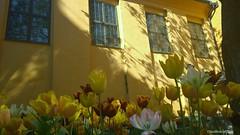 (claudiophoto) Tags: light sunset flower nokia spring sweden stockholm getty fiori scandinavia stoccolma gettyimage carlzeiss svezia tulipani colorphotoaward flickrbest flickraward lenszeiss nokialumia1020