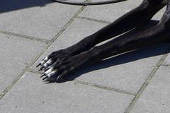 P1010341 (brandsvig) Tags: dog skne sweden may hund sverige paws malm 2014 lx7 vinthund augustenborg tassar lumixlx7 ekostaden ekostadensdag augustenborgstorget