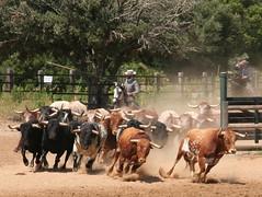 ..not to be messed with (brightasafig) Tags: spain espana andalusia mediasidonia horsesandbulls