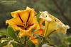 Cup of Gold Vine (Tevaironi) Tags: solandramaxima cupofgoldvine גדולה״ ״סולנדרה