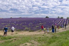 Life in the fields (Fil.ippo) Tags: people france flower landscape nikon photographer lavender provence filippo paesaggio blooming provenza fotografi valensole d7000 filippobianchi