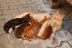 Karamel and her kittens (s_gulfidan) Tags: cat 300faves kittenmagazine catmoments
