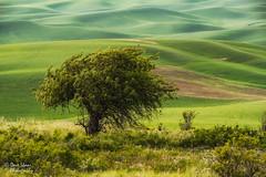 The Sentinel (NW Vagabond) Tags: tree landscape washington state wheat farmland hills lone rolling palouse 2014 steptoebutte